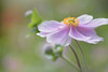 Japanese anemone flower (glendamaree) Tags: pink floral nature upclose pretty nikon d750 japenese anemone japaneseanemones japanese