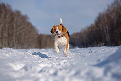 Beagle (androsoff) Tags: animal beagle black branch breed brown canine cold cute day dog drifts forest fun funny happy landscape mammal muzzle nature nose outdoor park pet playing white winter young portrait thoroughbred active stick small doggy tongue tricolored pedigreed field quick domestic summer weather running season hunt snow activity looking trees training