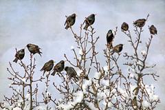 an even dozen (1crzqbn) Tags: 1crzqbn 8522018 snow 12 starlings sunlight light bokeh dof depthoffield winter garden nature