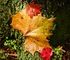 colors, colors (johnsinclair8888) Tags: color leaf wet fall nikon 50mm red yellow green moss johndavis