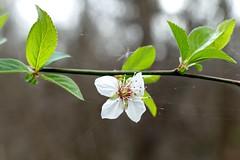 **Prunus cerasifera, CHERRY PLUM (openspacer) Tags: flower jasperridgebiologicalpreserve jrbp nonnative plum prunus riparian rosaceae tree
