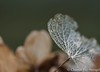 Hortensia (Chantal van Breugel) Tags: planten hortensia macro eigentuin winter espel noordoostpolder flevoland januari 2018 canon5dmark111 canon100mm