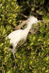 White Morph Reddish Egret (dbadair) Tags: outdoor reddish egret seaside shore sea sky water nature wildlife 7dm2 ocean canon florida bird grass animal