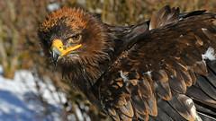 Steppenadler (karinrogmann) Tags: steppenadler steppeeagle aquiladellsteppe greifvogelstationhellenthal