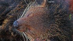 sleeping bearcat….. (Jinky Dabon) Tags: bearcat mammal mammals bearcats raccoon redpanda redpandas ailurusfulgens canonpowershotsx170is