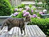 Zus in her summer garden. (Cajaflez) Tags: hortensia tuin garden huisdier gatto chat katze kat cat pet coth coth5 zus