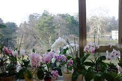My Office (orchidamour) Tags: orchid orchideen orchidée orquídea phalaenopsis noidphalaenopsis plants houseplant indoor garden gardening jardin winter office window sill
