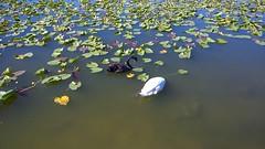 Lakeland (heytampa) Tags: lakeland fl florida lake lakemirror bird swan downtown