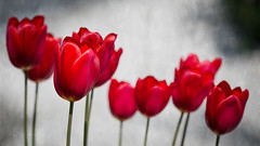 Tulip parade (Karsten Gieselmann) Tags: 40150mmf28 blumen blüten bokeh dof em5markii frühling grau jahreszeiten mzuiko microfourthirds natur olympus pflanzen rot schärfentiefe tulpe blossom flower gray kgiesel m43 mft nature red seasons spring tulip