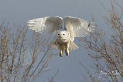 Snow Owl takes flight - sequence - 6 of 9