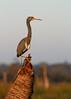 The Lookout (Bill McBride Photography) Tags: egrettatricolor tricolored heron richgrissommemorial wetlands viera melbourne fl florida nature wildlife bird avian december 2017 canon eos 70d ef100400l