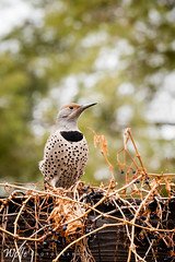 the other flicker (Aaron_Smith_Wolfe_Photography) Tags: northernflicker bird wildlife carsoncity nevada spotted telephoto nikon d810 tamron