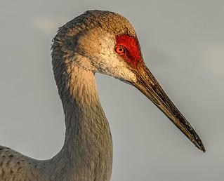 Sandhill Crane In Profile