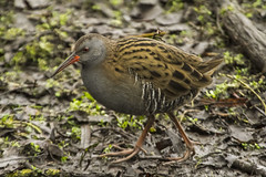 WATER RAIL (_jyphotography) Tags: animalphotography animals animal canon7d canon canonphotography wildlife wildlifephotography wiltshire water waterrail photography pictures birdphotography bird birds birdwatching birdingphotography birding birders