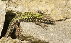 Wall Lizard (Podarcis muralis). (Sandra Standbridge.) Tags: walllizard podarcismuralis lizard wall rocks wildandfree wildlife wild outdoor animal nature reptile