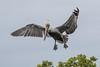 Brown Pelican Landing (dbadair) Tags: outdoor seaside shore sea sky water nature wildlife 7dm2 ocean canon florida bird bif flight