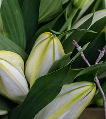 Lily White. (Omygodtom) Tags: flower flickr dof d7100 digital macro bokeh white yellow green lily sammysflowers tamron90mm tamron macrodreams usgs ngs ngc style classic flora
