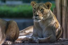 Lioness (jed52400) Tags: lioness nikon200500 nikon nationalsmithsonianzoo washingtondc zoo