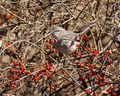 Northern Mockingbird in chokeberry bush (johnny4eyes1) Tags: winter nature birds icy passerine northernmockingbird gatewaynationalwildlifepreserve perchingbirds cold frigid wildlife bird environment mockingbird perchingbird perching ice