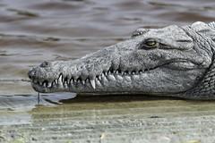 Portrait of an American Crocodile (Alan Vernon.) Tags: crocodile american crocodylus acutus crocodilia reptile reptilia florida predator croc