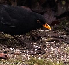 Blackbird taking the crumbs (endangeredspecys) Tags: garden birds