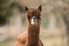 Alpaca brown_w_4458 (Daly Wildlife) Tags: gaggenau badenwürttemberg germany de vicugnapacos alpaca domesticated southamerican wool southamerica fleece naturalfiber shear luxurious waterrepelent relatedllamas ruminant andes