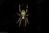 'Eriophora' (dustaway) Tags: arthropoda arachnida araneae araneomorphae araneidae araneinae eriophora orbweaver australianspiders lismore nature northernrivers nsw australia