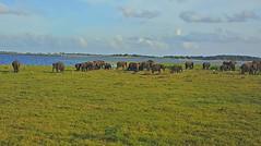 Elephants @ Sri Lanka (Gerard Koopman) Tags: