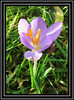 The First Crocus - Open for poem (M E For Bees (Was Margaret Edge The Bee Girl)) Tags: crocus flower flowerscolors purple petals blooming garden green grass sun winter january outdoors canon painted poem flowering new stamens orange