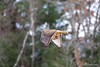 hybrid hunting (Brian M Hale) Tags: hawk hybrid red shoulder tail hal vole rodent dinner hunting flying flight prey bird outside outdoors wild wildlife nature ma mass massachusetts brian hale brianhalephoto