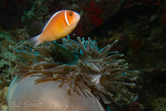 Pink anemonefish (Amphiprion perideraion) (BJSmit) Tags: pentaceraster philippines scuba diving