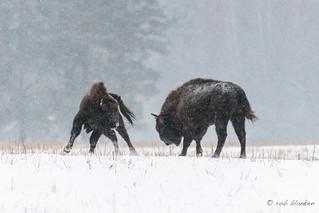 European Bison (8)