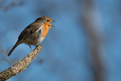 The Voice (ossie.g) Tags: robin singing voice song red breast