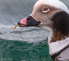 Long-tailed Duck (bbatley) Tags: