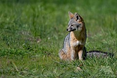 Sitting Pretty (fascinationwildlife) Tags: animal mammal wild wildlife winter nature natur national park point reyes grey fox field graufuchs fuchs predator california usa america sitting beautiful cute coast seashore