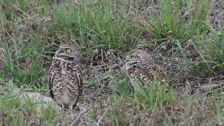 Brief video showing 2 burrowing owls.They are on look out into the skies for hawks.