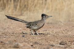 Greater Roadrunner (Matt Shellenberg) Tags: bird greater roadrunner greaterroadrunner arizona desert