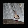 KUSA-3636 (Weinstöckle) Tags: nilgans enz vogel stauwehr