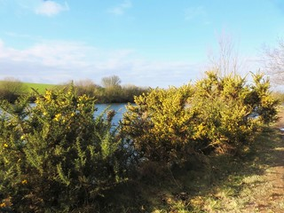 Gorse by the lakeside