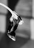 gone (RubyT (off to see kids & grandkids)) Tags: pentaxkp f3570 tulip bw nb bn mono monocromo monochrome schwarzweiss blackandwhite noirblanc blancoynegro черноеибелое flower shadow
