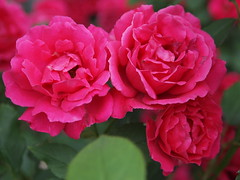 Three rose cluster (D. C. Wilson) Tags: rose flower plant foliage red outdoor garden macro