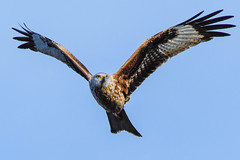 red kite frontal (Paul Wrights Reserved) Tags: redkite bird birding birds birdphotography birdwatching birdinflight birdofprey birdofpreyinflight majestic graceful wings frontal sky