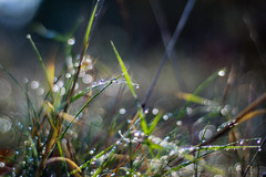 November Dampness (Don White (Burnaby)) Tags: centralpark extensiontube flowersplants grass macro nikon50mm18d bokeh dew