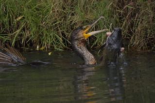 Great Cormorant with catfish