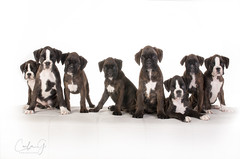 Boxer Family (carla ghysels) Tags: petphotography puppy puppies pet studiophotography boxer dog dogs k9 highkey