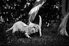 21657 - The match (Diego Rosato) Tags: amy rory gatti cats animali animals pets bianconero blackwhite nikon d700 70200mm sigma giardino garden lotta fight gioco play match