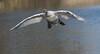 Adolescent Mute Swan in Flight (Mukumbura) Tags: swan cygnet young adolescent muteswan sprint running takeoff water splash splashing sprinting bird wildlife wings wingspan feet speed action determination perseverance agility power cygnusolor wells somerset nature britain flight flying landing
