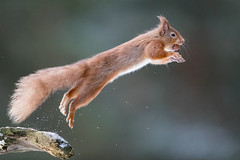 """Leap of Faith... (coopsphotomad) Tags: """"red squirrel"""" squirrel native mammal animal nature wildlife scotland scottish canon redsquirrel outdoor woodland leap jump branch bokeh british wild highiso 15000 iso10000 1dx 500mm f4 snow ice cold"""