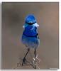 Hello! (Mykel46) Tags: splendid fairywren malurus splendens maluridae birds nature wildlife sony a9 100400mm blue pretty song singing bokeh blur background outside outdoor outdoors