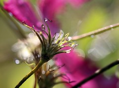 happy sunday (Gil V) Tags: macro light waterdroplets pink color plant clematis haiku
